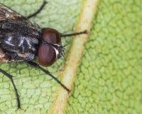 Голова мухы Стоковые Фото