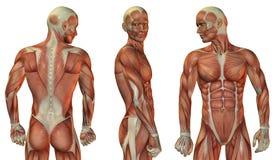 Голова мышцы и верхнее тело иллюстрация вектора