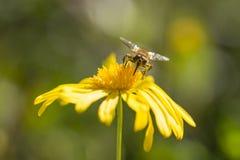 Голова на пчеле Стоковая Фотография RF