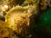 Голова на съемке hispid frogfish 02 Стоковое Изображение RF