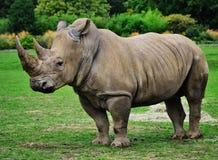 Голова носорога Стоковое фото RF