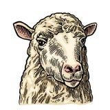 Голова овец Рука нарисованная в графическом стиле Винтажная иллюстрация гравировки для графика информации, плаката, сети Изолиров Стоковое Фото