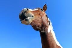 Голова довольно любознательной лошади Стоковые Изображения RF
