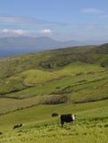 Голова овцы полуостровная Стоковое Изображение