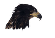 Голова орла изолированная на белом портрете смотря вниз Стоковые Изображения