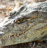 Голова острорылого крокодила Стоковое фото RF