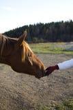 Голова лошади и человеческая рука Стоковая Фотография RF