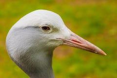 Голова пер азиатской птицы крана белых закрывает вверх Стоковая Фотография RF