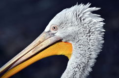 Голова пеликана Стоковое фото RF