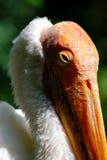Голова пеликана Стоковые Изображения RF