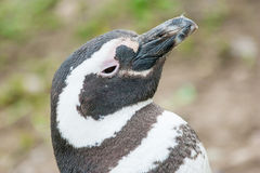 Голова пингвина поднимаясь вверх Стоковые Изображения RF