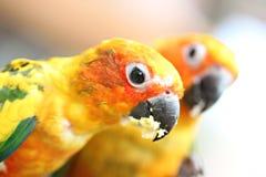 Голова попугая ест еду на ветви дерева Стоковые Изображения RF
