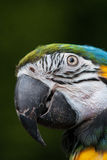 Голова попугая Стоковое Изображение