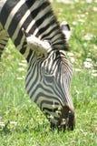 Голова прелестной зебры в Африке Стоковые Фотографии RF