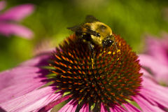 Голова пчелы на чашке конца цветка эхинацеи Стоковые Изображения