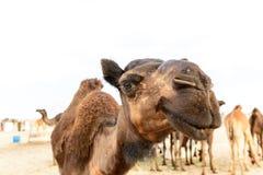 Голова дромадера в пустыне Омана (Оман) Стоковые Фотографии RF