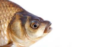 Голова рыб карася, масштабы снимает кожу с фото текстуры Картина карпа Crucian взгляда макроса чешуистая Селективный фокус, малая Стоковая Фотография