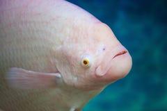 Голова рыб & x28; Giant& x29; Альбинос осфронемовых в воде Стоковые Изображения RF