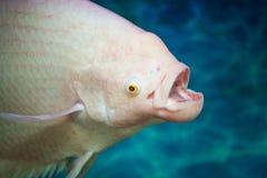 Голова рыб & x28; Giant& x29; Альбинос осфронемовых в воде Стоковая Фотография