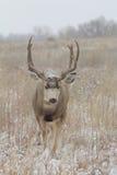 Голова самца оленя оленей осла идя дальше Стоковое фото RF