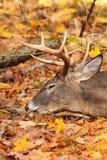 Голова самца оленя оленей Whitetail отдыхая Стоковая Фотография RF