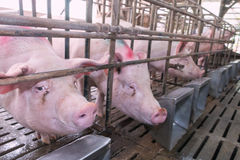 Голова свиньи в клетке Стоковое Изображение