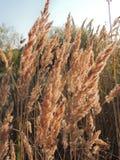 Голова семени общего тростника стоковые фото