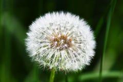 Голова семени цветка одуванчика на темной предпосылке Стоковая Фотография RF