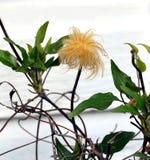 Голова семени Clematis Стоковая Фотография RF