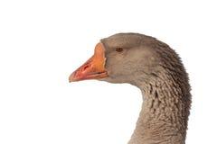 Голова серой гусыни на белой предпосылке Стоковое Фото