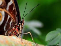 Голова (снятый макрос) голубой бабочки morpho Стоковое Изображение RF