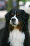 Голова собаки стоковая фотография rf