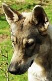 Голова собаки Стоковое Изображение