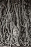 Голова статуи Будды в дереве укореняет Стоковые Изображения RF