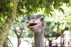 Голова страуса портрета конца-вверх стоковая фотография rf