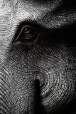 Голова слона в черно-белом Стоковые Изображения