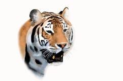 Голова тигра Бенгалии Стоковая Фотография RF