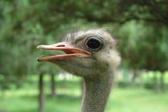 Голова уединённого страуса на предпосылке зеленых деревьев Стоковые Изображения RF