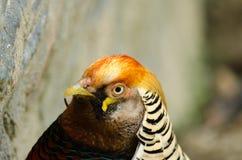 Голова фазана Стоковое Фото