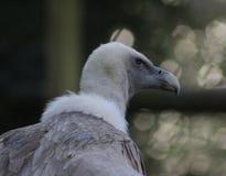 Голова хищника Griffon стоковая фотография