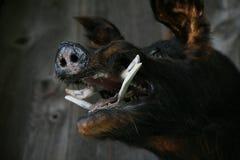 Голова хряков Стоковое Изображение RF