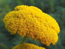 Голова цветка завода тысячелистника обыкновенного лета желтая Стоковые Фото