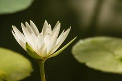 Голова цветка лилии белой воды Стоковое Изображение RF