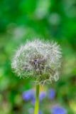 Голова цветка одуванчика вполне семян Стоковые Изображения