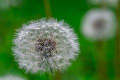 Голова цветка одуванчика вполне семян Стоковое Изображение RF