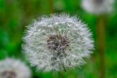 Голова цветка одуванчика вполне семян Стоковые Фотографии RF