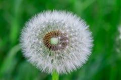 Голова цветка одуванчика вполне семян Стоковое фото RF