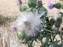 Голова цветка thistle молока сильнорослая снаружи в поле Стоковое фото RF