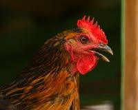 Голова цыпленка или петуха стоковые изображения rf