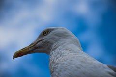 Голова чайки Стоковые Изображения RF